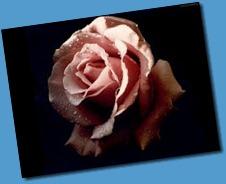 rose_1024x768