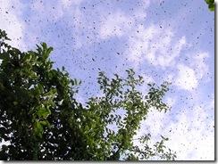 Rojení  a velikost včelstva 048