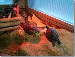 2011.11.25-012 tortues