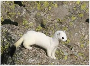 Amazing Pictures of Animals, photo, Nature, exotic, funny, incredibel, Zoo, Stoat, Mustela erminea, Alex (12)