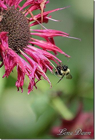 Monarda_Bee