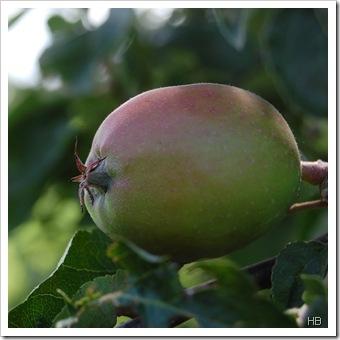 Apfel © H. Brune