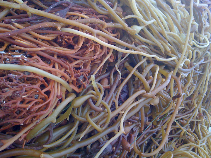 Sea Kelp at Windansea