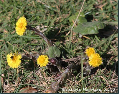 22-coltsfoot