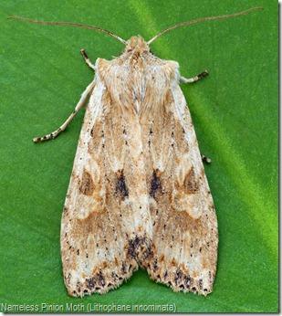 Nameless Pinion Moth (Lithophane innominata)