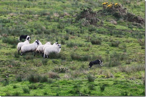 shepherd-dog-sheepdog-trials-kerry-ireland