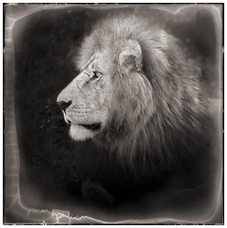 LionCUPortrait
