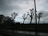 Strange-looking trees at Fisherman's Wharf