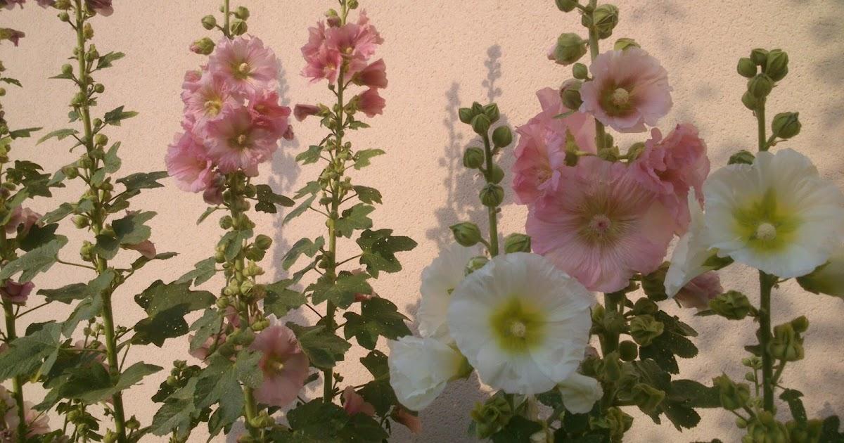 Plantes de mon jardin en lorraine roses tremieres - Planter des roses tremieres ...