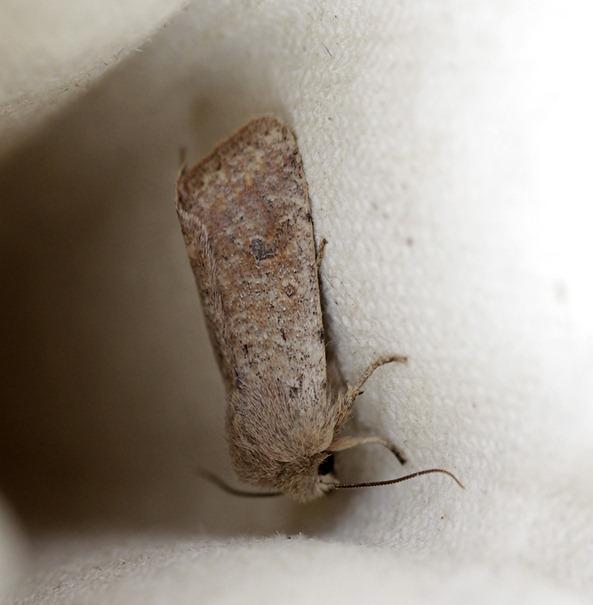 11_03_22_moth_022_small_quaker