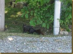 2011-6-18 black squirrel (800x595)