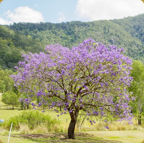 Jacaranda in flower
