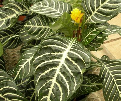 Gu a de plantas gremi floristes de catalunya - Plantas de hojas grandes y verdes de exterior ...