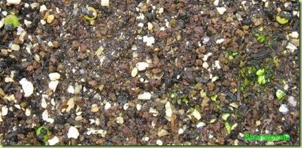 Ariocarpus furfuraceus Matehuala - SLP-2011-01-23_00011IMG_4893