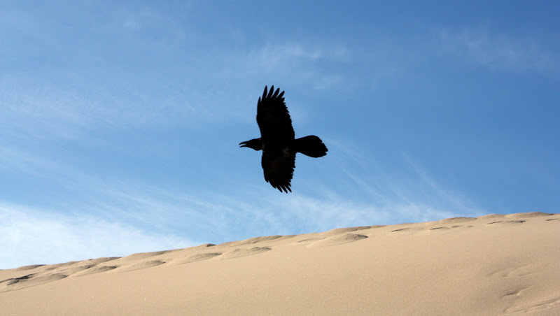 Raven soaring over the sand