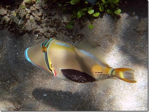12 10 Bali (240) Good Karma Black Belly Trigger fish E