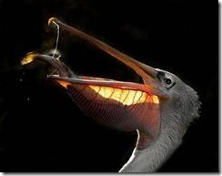 pelikan adaptasi morfologi