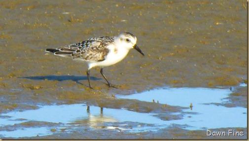 tern island birding_028