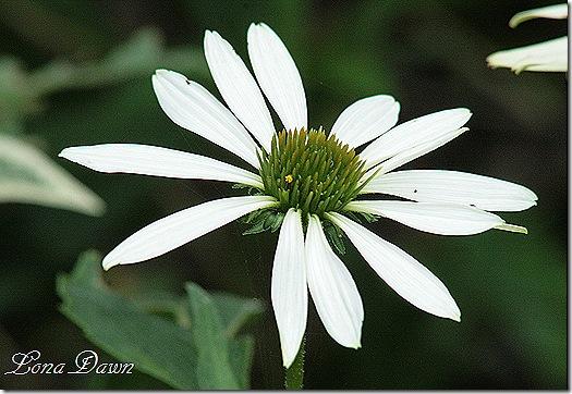 LuckyStar_Echinacea_Sept26