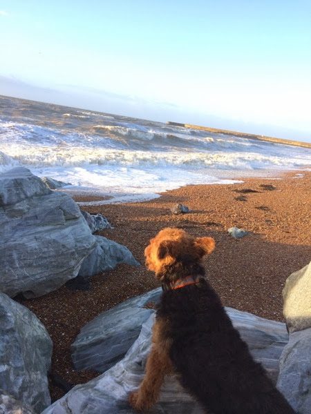 Welsh Terrier at Southwick beach