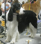 Tri-Colored English Springer Spaniel