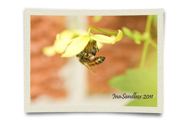 Clematis Orientalis with bee 3_with frame