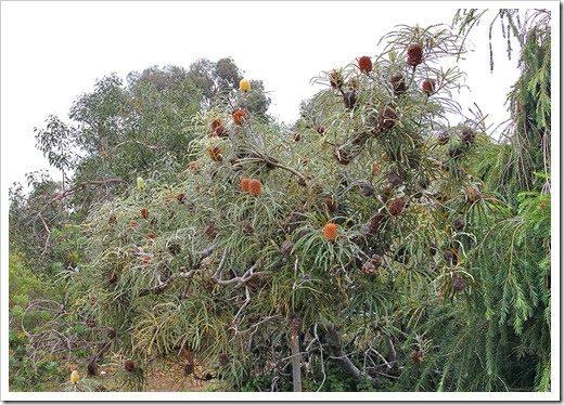 111015_Santa-Cruz_UCSCA_Banksia-speciosa_16