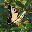 swallowtail6961S.JPG