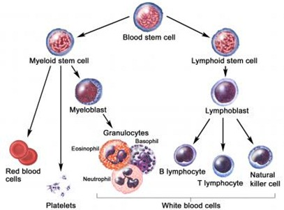 Lymphocyte development