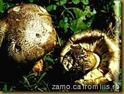 Tricholoma-tigrinum[3]