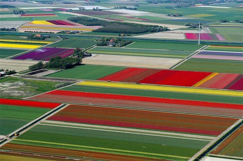 tulip-field-6