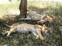 Lions enjoying the shade - Serengeti