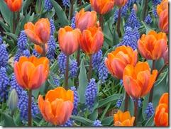 Tulips 2012 048