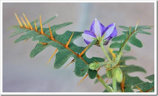 120630_Solanum-pyracanthum_07