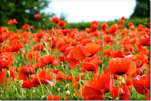 Poppy-Fields-3