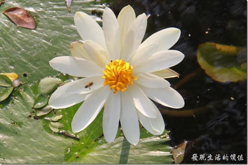 台南中山公園-連花05