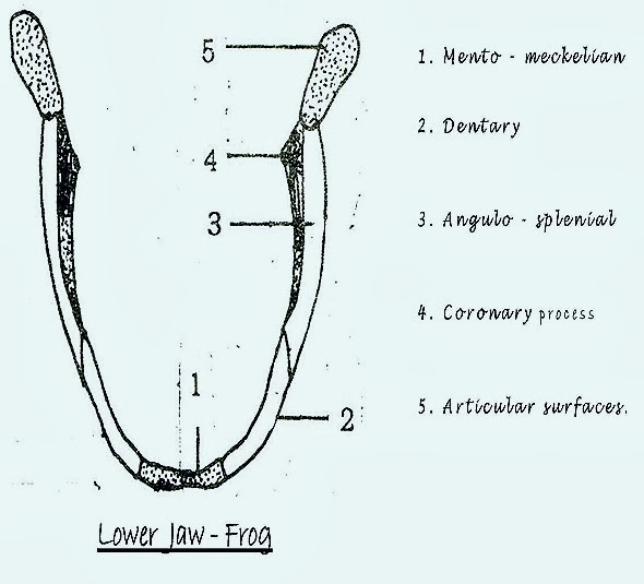 lower-jaw-frog-skull