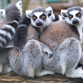 Ring-Tailed Lemurs by Storm Hayward - Animals Other Mammals ( animals, park, wildlife, lemur, cute,  )