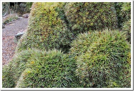 121228_UCBotGarden_Deuterocohnia-brevifolia_01