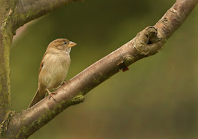 Female House Sparrow by John Powell EFIAP DPAGB BPE4
