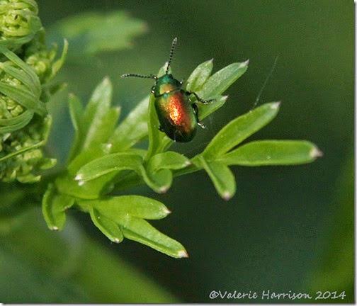 15-beetle(Chrysomelidae)
