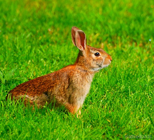 5. cottontail-kab