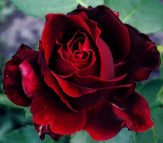 21 Fotos De Rosas Vermelhas Imagens De Flores