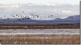 Sand Hill Cranes Wilcox AZ 104