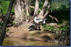 Ducks 2011-08-30 019