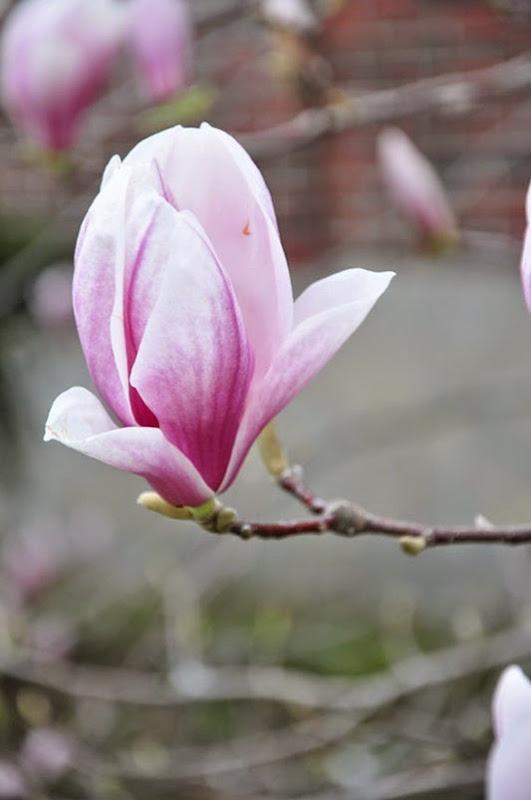 magnolia_flower