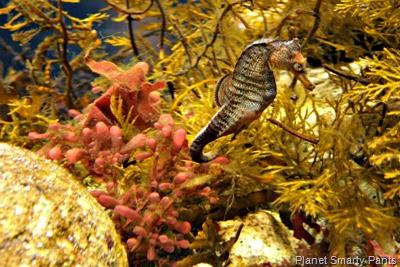 Monterey Aquarium-Seahorse