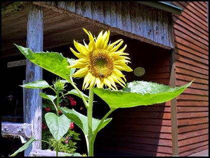 04 - Sun Flower