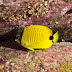 Milletseed Butterflyfish - Photo (c) DavidR.808, some rights reserved (CC BY-NC-SA)