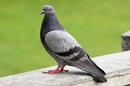 palomas-aves-en-peligro-de-extinción